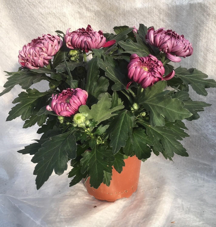 Deko-Chrysanthemen grossblumig 15cm