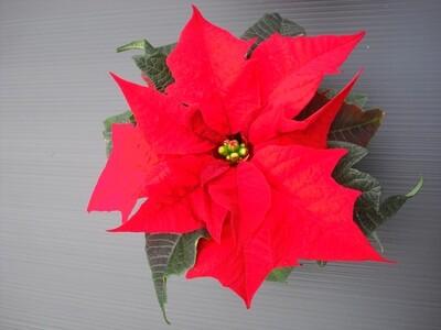Weihnachtsstern Mini 6cm