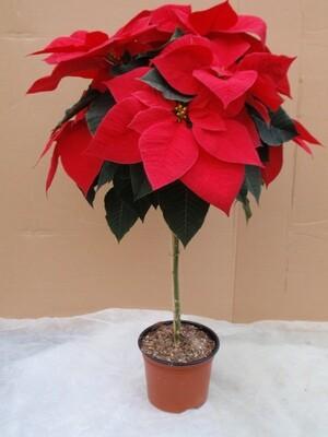 Weihnachtsstern Stamm 17cm