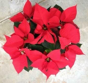 Weihnachtsstern 13cm