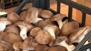 Funghi Cardoncelli Freschi(Clicca qui)
