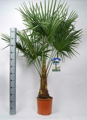 Trachycarpus Fortunei pot 40cm hoogte 2.5m