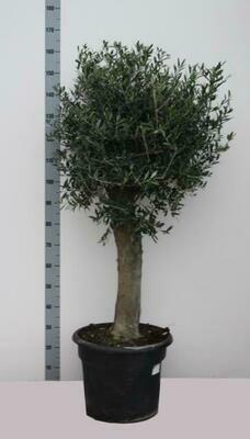 Olijfboom H 1.8m pot 50cm