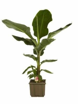 Musa banaan Hoogte 1.1m