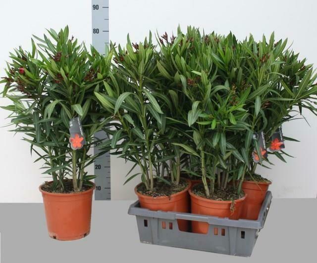 Oleander rood pot 19