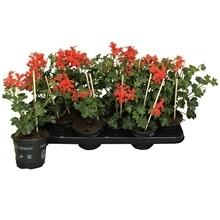 Geranium hang rood Roi de balcon pot 10.5cm
