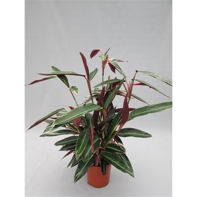Stromanthe Triostar pot 19 h 65cm