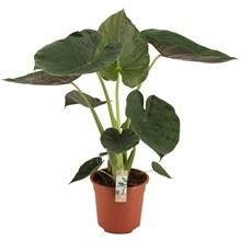Alocasia Wentii pot 17cm h 70cm