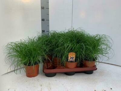 Cyperus 'kattegras' pot 12cm h 25cm