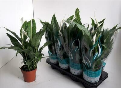 Spathyfilium pot 17cm h 65cm