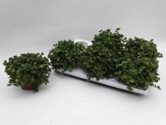Callisia repens pot 12cm dia 20cm