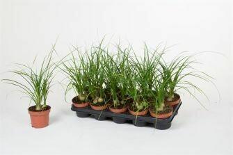 Beaucarnea pot 10cm hoogte 35cm