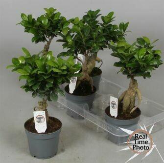 Ficus ginseng pot 13cm h40cm