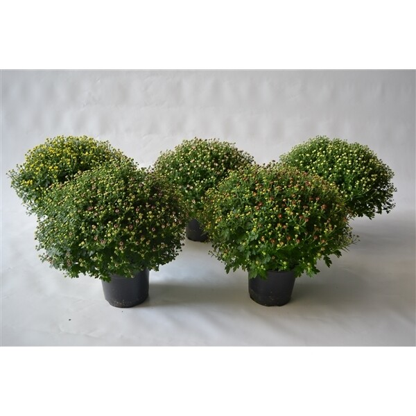 Potchrysant dia 60-65cm wit