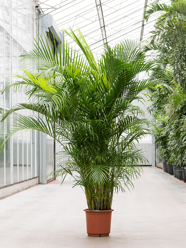 Areca palm h 2.2m pot 32cm