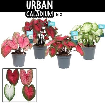 Caladium pot 14cm hoogte 50-60cm