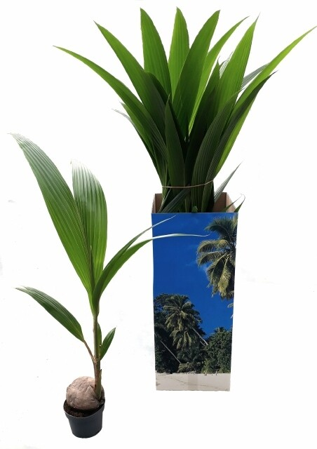 Cocospalm pot 17cm h 1-1.2m