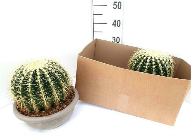 Bolcactus dia 27cm h 22cm