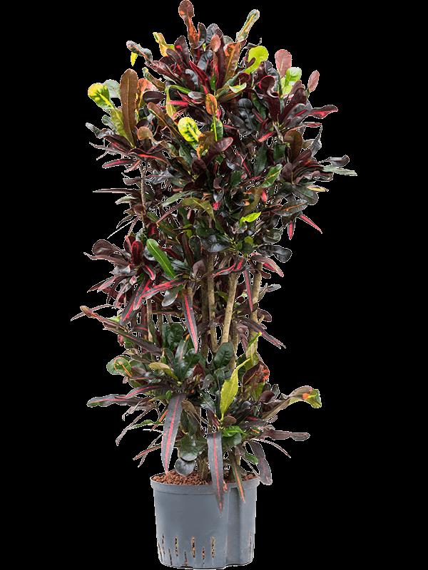 Croton Mamey op Hydrocultuur h 1.2m