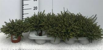 Erica Darleyensis/winterheide pot 11cm