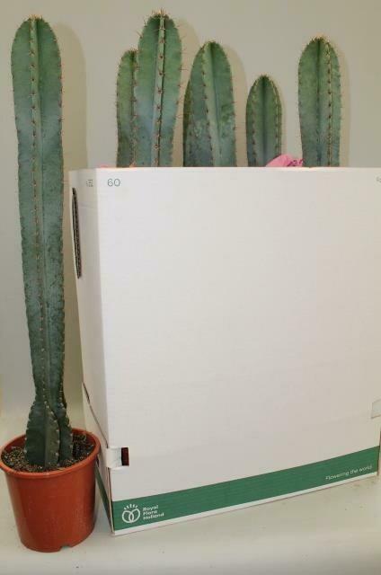 Cactus cereus pot 17cm hoogte 80-90cm