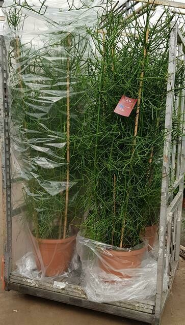 Euphorbia tirucalli pot 40cm hoogte 1.7m