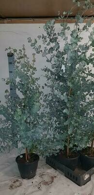 Eucalyptusplant pot 21cm hoogte 1.2m
