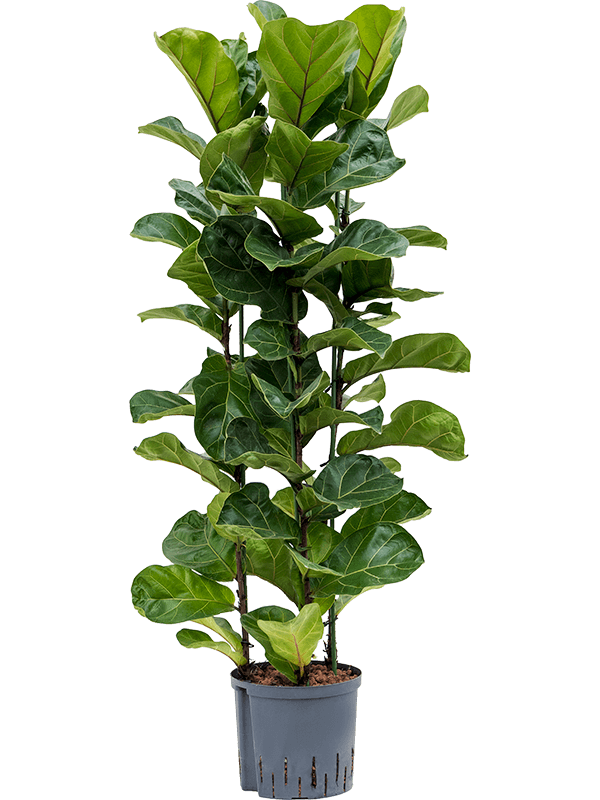 Ficus lyrata bambino h 1-1.2m