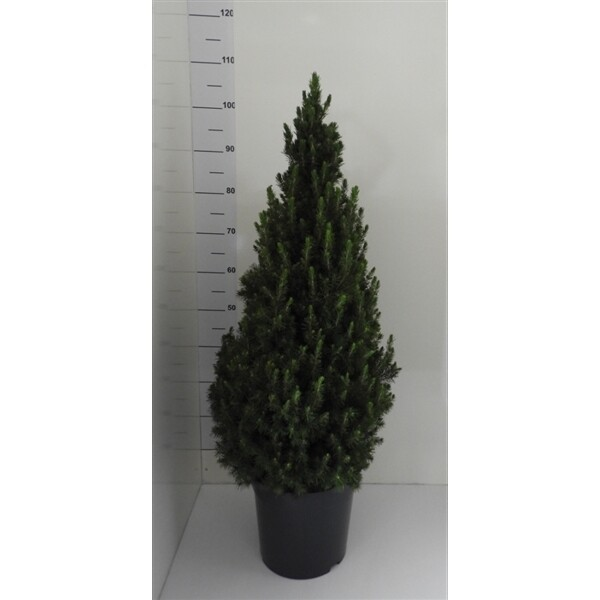 Picea conica mini kerstboom