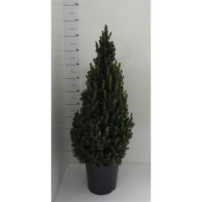 Picea conica mini kerstboom