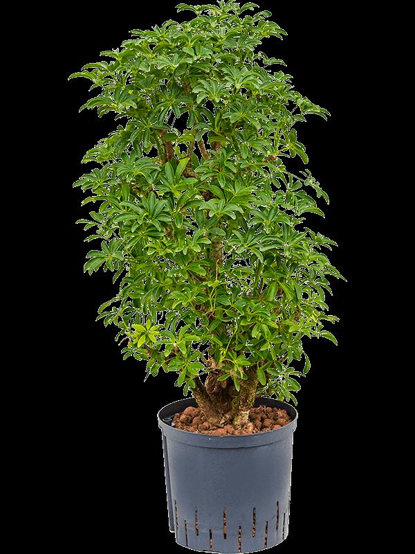 Schefflera Louisiana toef hydrocultuur h 70-80cm