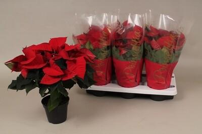 Poinsettia(kerstroos) pot 13cm 5-6 bloemschermen hoogte30-35cm