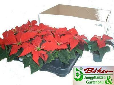 Kerstster (euhoprbia pulcherrima) mini set van 3 stuks potje 6 cm dia ong 10cm