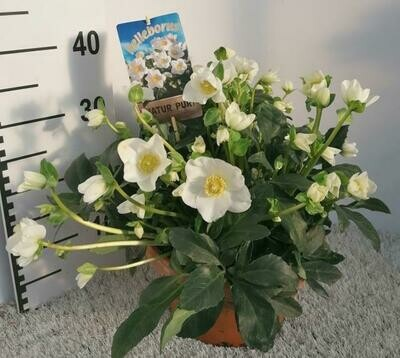 Helleborus groot(kerstroos in stenen pot dia 27cm dia plant 30-35cm