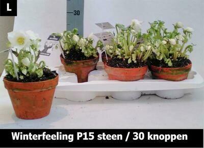 Helleborus zonder blad in TC pot dia 15cm