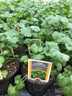 Herb - Cilantro