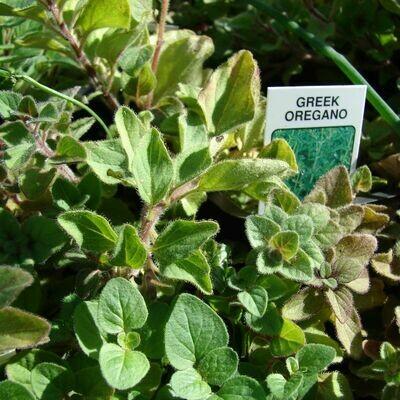 Herb - Oregano (Multiple Varieties)