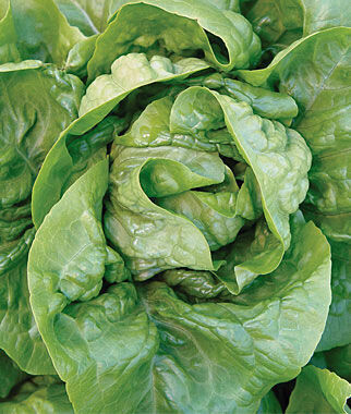 Vegetable - Lettuce (Multiple Varieties)