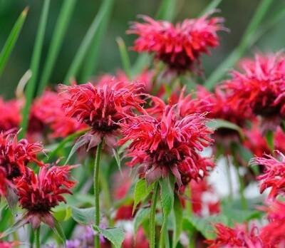 Bee Balm (Monarda) - 'Cambridge Scarlet'