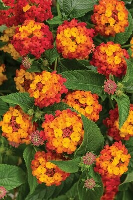 Annual - Lantana (Assorted Colors)