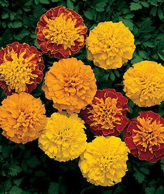 Annual - Marigold, Mixed Tall (Flat, 32 plants)