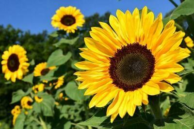 Annual - Sunflower
