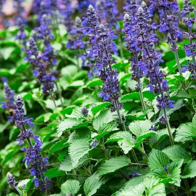 Annual - Salvia, Blue (Flat, 32 Plants)