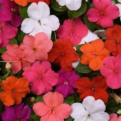 Annual - Impatiens, Mixed (Flat, 32 plants)