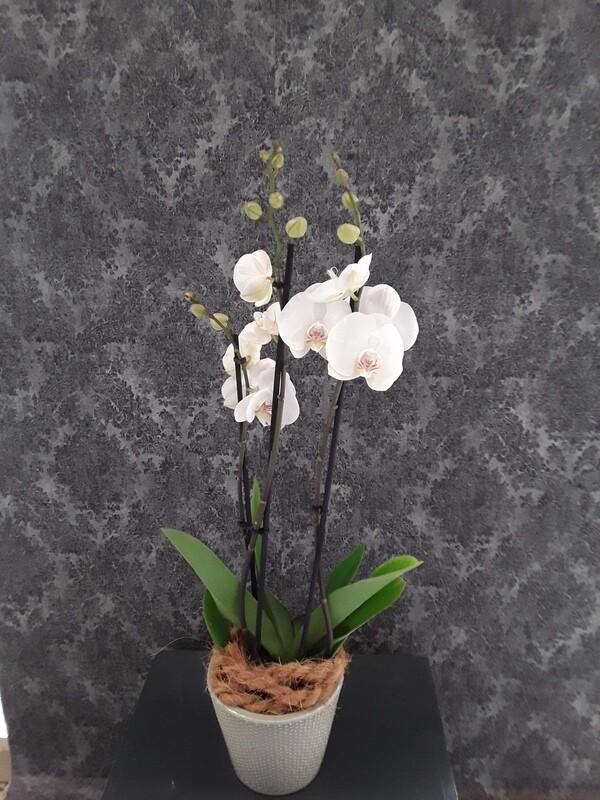 Phalaenopsis im dekorativen Übertopf