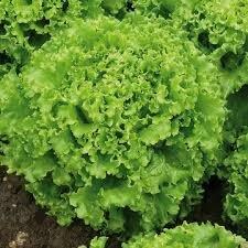 Salade Batavia (6p)