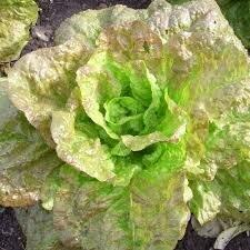 Salade Laitue de Morges (6p)