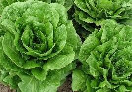 Salade Laitue romaine (6p)
