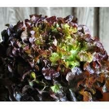 Salade feuille de chêne rouge (6p)