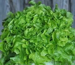 Salade feuille de chêne verte (6p)